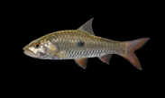 Thai ornamental fish export fish import fish aquarium fish live fish ...